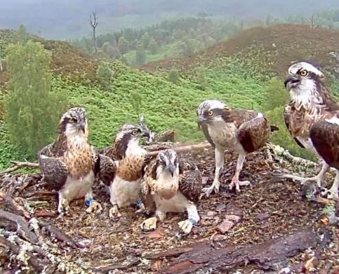 Ospreys in Lochaber